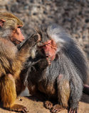 Two baboons Royalty Free Stock Images