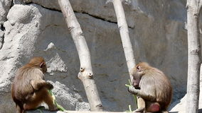 Two baboons eating food. Two hungry baboons eating food stock footage