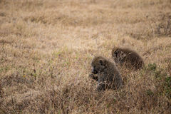 Two baboons eating, Ngorongoro national park (Tanzania) Royalty Free Stock Images