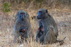 Two Baboons with Infants Stock Image