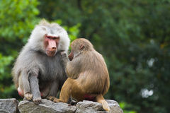 Two baboons on rocks. Two baboons sitting on rocks and catching fleas Royalty Free Stock Photography