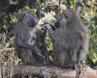 Two baboons sitting on a log facing each other in the Ngorongoro Crater Stock Photos