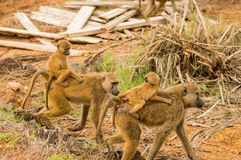 Two baboons with their cubs on their backs. In the savannah of Amboseli Park in Kenya Stock Photography