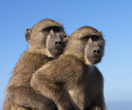 Two Baboons Together Royalty Free Stock Images