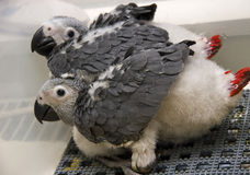 Baby African Greys Royalty Free Stock Image
