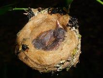 Two baby bird of rufous-tailed hummingbird in nest Stock Photos