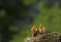 Two Baby Birds Singing For Supper Royalty Free Stock Images