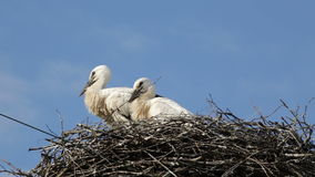 Two baby birds of a white stork in a nest against the background of the blue sky with clouds stock footage