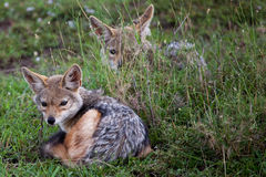 Two baby black-backed jackals royalty free stock image