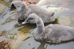 Two baby  black swan Royalty Free Stock Photos