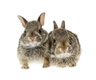 Two baby bunny rabbits Stock Image