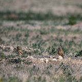 Two Burrowing Owl babies stand outside their nest burrow in southern Colorado Royalty Free Stock Photos