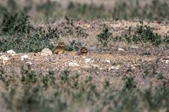 Two Burrowing Owl babies stand outside their nest burrow in southern Colorado Stock Photos