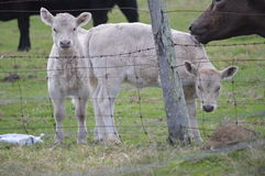 Two baby calves Royalty Free Stock Photos