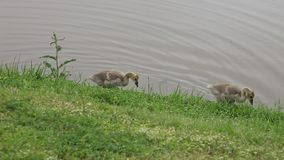 Two baby Canadian Geese. stock video footage