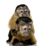 Two Baby Capuchins - sapajou a Royalty Free Stock Image
