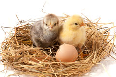 Two baby chicken with broken eggshell in the straw nest on white background Stock Images