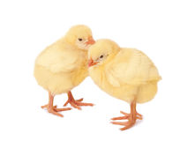 Two baby chickens Stock Image