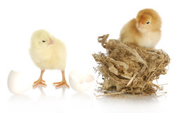 Two baby chicks Stock Image