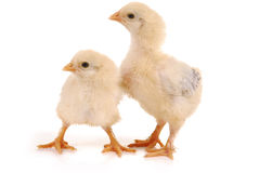 Two baby chicks Stock Photos