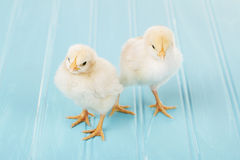 Two baby chicks on a blue background Royalty Free Stock Images