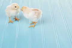 Two baby chicks on a blue background Royalty Free Stock Photography