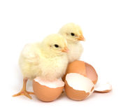 Two baby chicks and broken brown eggs Stock Image