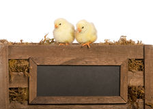 Two Baby Chicks Royalty Free Stock Photography