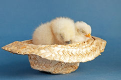 Two baby chicks taking a nap in a cowboy hat Stock Photos
