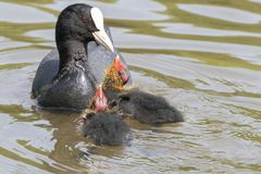 Coot feeding two babies at Southampton Common royalty free stock photo
