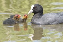 Coot feeding two babies at Southampton Common stock images