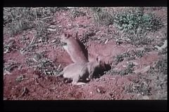 Two baby coyotes digging a hole in the wilderness stock video