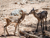Two baby deers (Cervus elaphus) friends in summer in a dry fores. T in a hot and sunny day in Spain royalty free stock photography