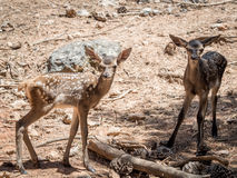 Two baby deers (Cervus elaphus) friends in summer in a dry fores. T in a hot and sunny day in Spain stock photos