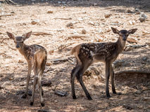 Two baby deers (Cervus elaphus) friends in summer in a dry fores. T in a hot and sunny day in Spain stock photography