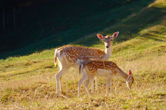 Two Baby Deers. Grazing on meadow on summer morning with shadow of forest in the background stock photography