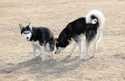 Two Baby Dogs Royalty Free Stock Photography