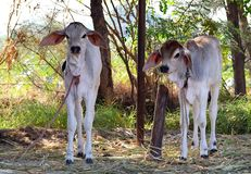 Two Baby Domestic Cows - Calves - Tied To Posts In Shelter - Goshala In India Stock Image