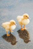 Two Baby Ducklings in a Puddle of Water Stock Image