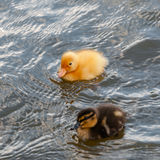 Two baby ducks duckling swimming in the water square.  Royalty Free Stock Photo