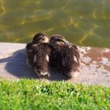 Two baby ducks huddling together. To baby ducks sitting close together near a pond Royalty Free Stock Photo