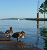 Two baby ducks near riverside Stock Photo