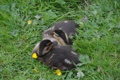 Two Baby Ducks Sleeping Stock Photography