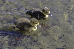 Two baby ducks swimming royalty free stock images