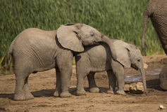 Two Baby elephant at water hole Royalty Free Stock Photo