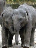 Two baby elephants Stock Image
