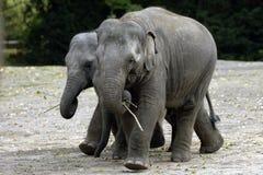 Two baby elephants Royalty Free Stock Photos