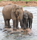 Two baby elephants and mother. Two Baby-elephants stand close to mother elephant in a shallow stream Royalty Free Stock Photography