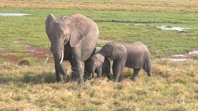 Two Baby Elephants and Mother. Masai Mara National Reserve, Kenya stock video footage