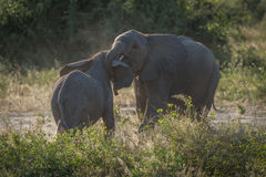 Two baby elephants play fighting in bushes stock images